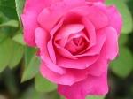 Rosas para los enamorados