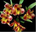Cuidados para las Flores de Astromelia