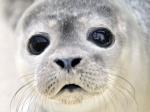 Reflexiones de Esperanza en Europa al prohibir el comercio de productos derivados de la foca