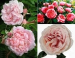 Tipos de Rosas Viejas o Rosales Antiguos