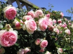 Tipos de Rosas Modernas
