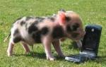 Mini cerdos. La nueva mascota en México.