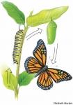 ¿Qué es la Metamorfosis?