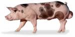 Porque invertir en líneas genéticas mejoras en producción porcina