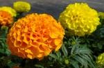 El Tagete erecta, una flor muy linda