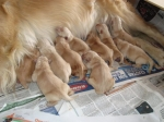 Tiempo de Gestación de los Perros