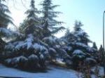 Nevando sobre los cedros