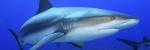 ¿Qué es el cartílago de tiburón?