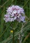 Plantas Medicinales: La Valeriana