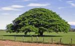 Conoce el árbol guanacaste