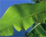 Cuidados de la planta del plátano