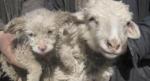 "Una oveja ""pare un perro"" en China"