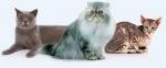 Algunas razas de gatos y sus características