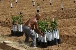El cultivo de la naranja - Fases productivas