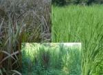 Siembra y cultivo del pasto maralfalfa, taiwan y king grass