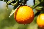 La primera variedad de la temporada - Clementina Oronules