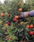 Recogida de Naranja