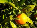 El bombón de las mandarinas clementinas