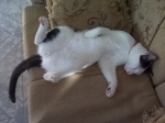 El Gato Mascota y compañero