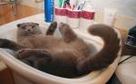 Las exhibiciones y concursos de gatos