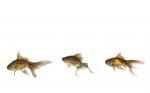 Los diversos mecanismos de reproducción de los peces