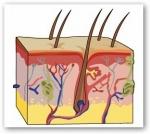 La Piel, el órgano que nos Cubre y Protege