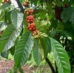 Beneficios del café orgánico