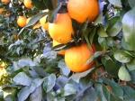 ¿Naranjas  frescas?...¿como distinguirla en la red?