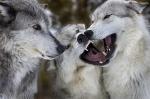 Origen del perro y evolución canina hasta la domesticación
