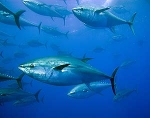 El atún y su protección