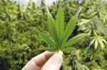Elimina el insomnio gracias a la marihuana