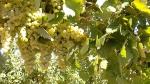 Viticultura ecológica para un mosto de calidad