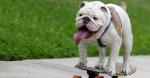 Te gustaria tener un bulldog ingles de mascota?