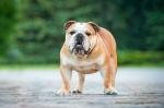 Todo lo que necesitas saber acerca de tu bulldog ingles