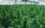 ¿Qué beneficios económicos dejaría a México la legalización de la marihuana?
